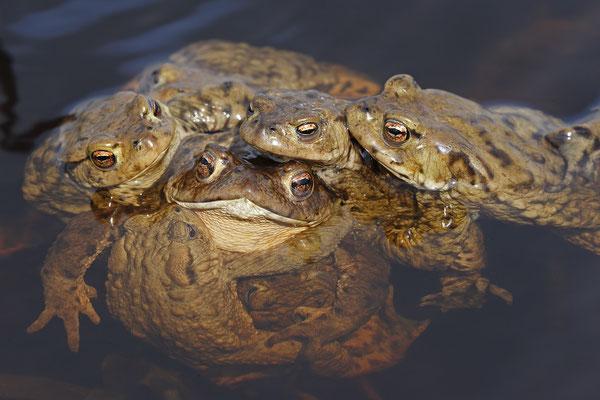 Erdkroete,Bufo bofo,Cammon Toad 0022
