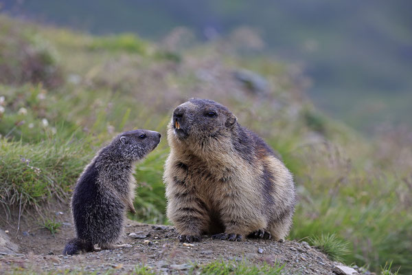 Alpenmurmeltier,Marmota,Marmot 0098