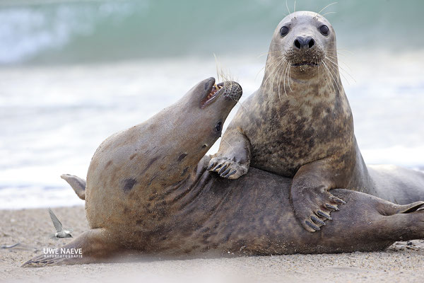 Kegelrobbe,Grey Seal,Halichoerus grypus 0191