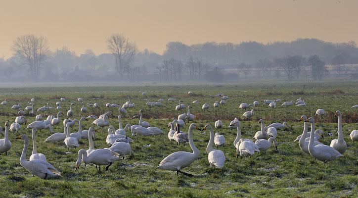 Singschwan,Whooper Swan,Cygnus cygnus 0050