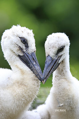 Weissstorch,White Stork,Ciconia ciconia 0130