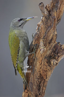 Grauspecht Weibchen,Picus canus,Gray-headed Woodpecker,female 0007