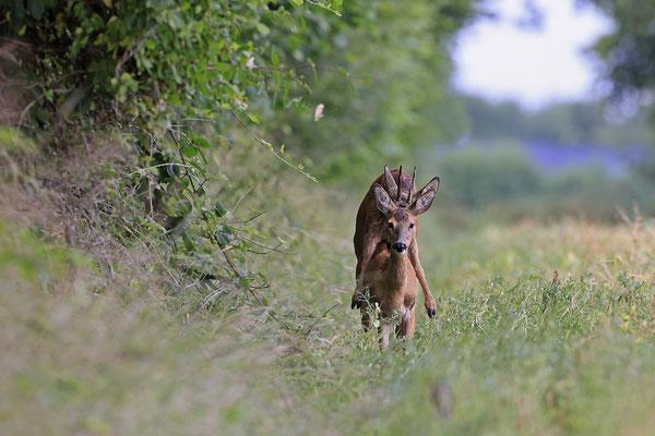 Rehbock,Capreolus capreolus,Roe Deer buck 0262