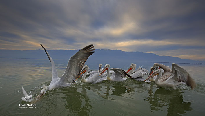 Krauskopfpelikan,Dalmatien pelican,pelecanus crispus 0039