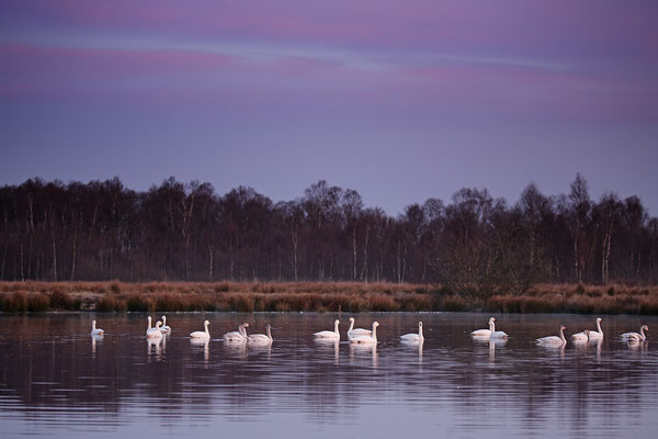 Zwergschwaene,Cygnus bewickii,Bewicks Swan 0055