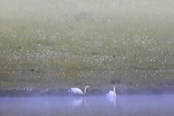 Hoeckerschwan,Mute Swan,Cygnus olor 0068
