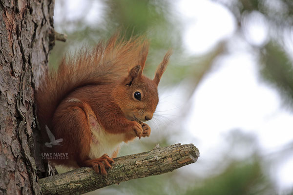 Eichhoernchen,Sciurus vulgaris,Red Squirrel 0025