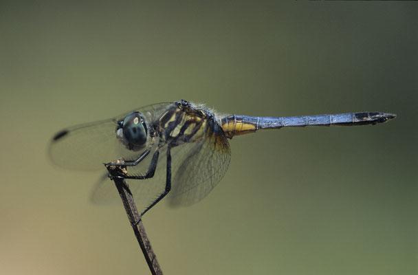 Blue Dasher ,Männchen,  00722
