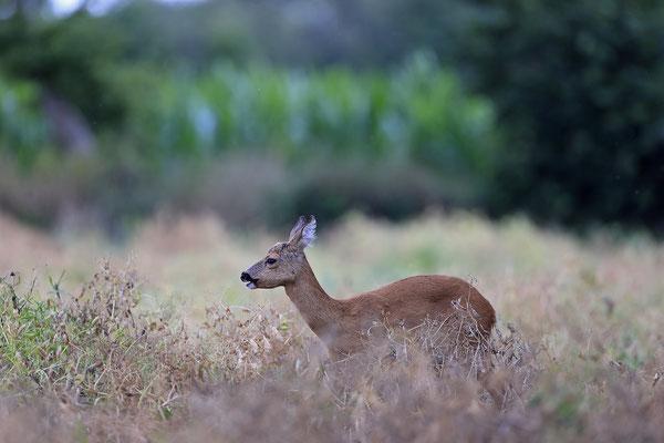 Reh,Ricke,Roe Deer doe,Capreolus capreolus 0228