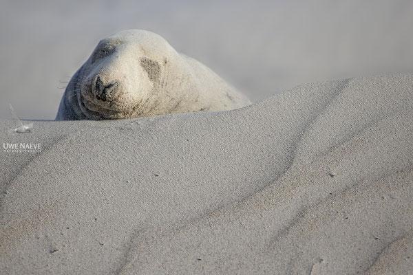 Kegelrobbe,Grey Seal,Halichoerus grypus 0183