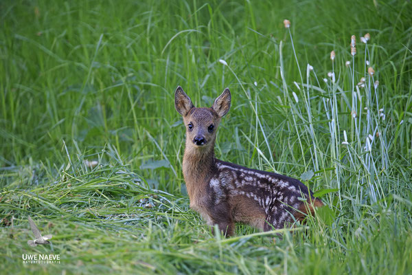 Rehkitz,Roe Deer fawn,Capreolus capreolus 0092