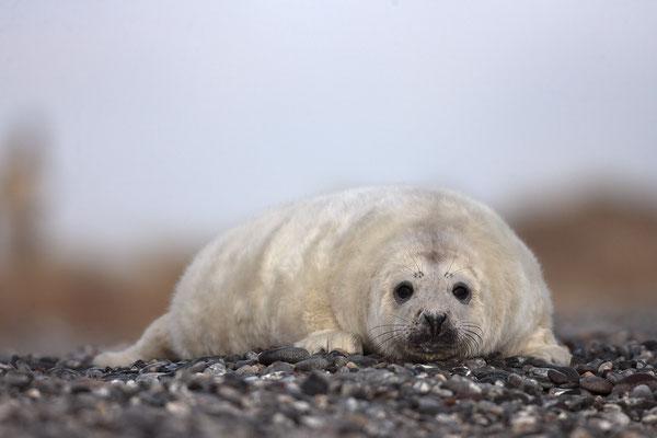 Kegelrobbe,Grey Seal,Halichoerus grypus 0043