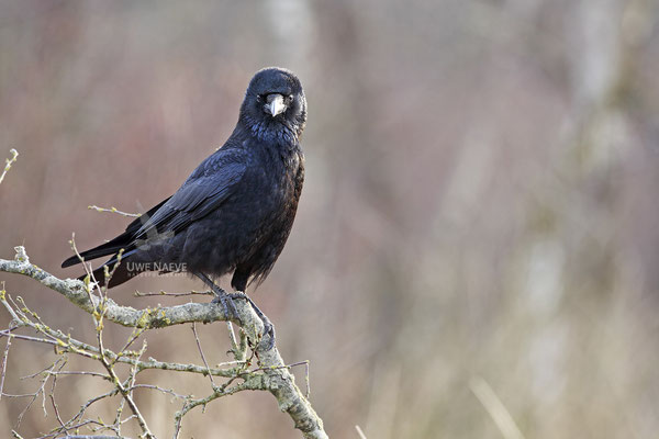 Rabenkraehe Corvus corone corone Carrion Crow 0010