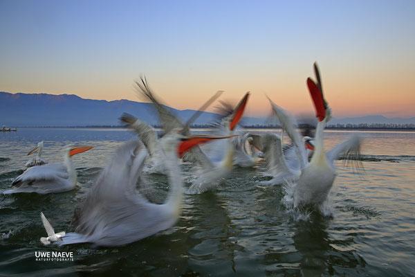 Krauskopfpelikan,Dalmatien pelican,pelecanus crispus 0045