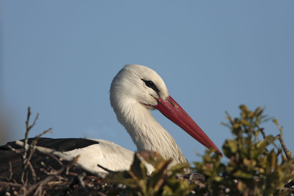 Weissstorch,White Stork,Ciconia ciconia 0016