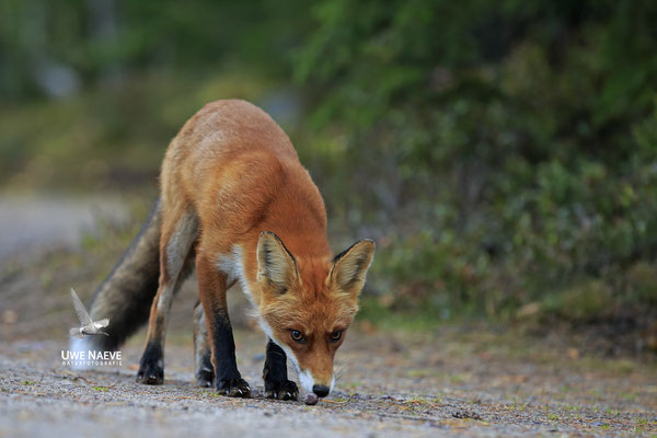 Rotfuchs,Vulpes vulpes,Red Fox 0034