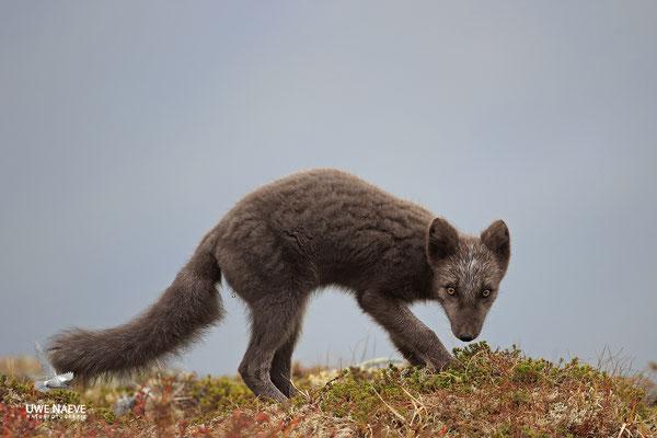 Polarfuchs,Eisfuchs,Arctic Foxes,Alopex lagopus,Vulpex lagopus 0094