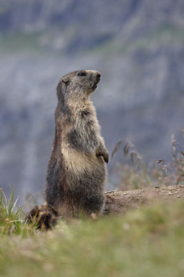 Alpenmurmeltier,Marmota,Marmot 0015