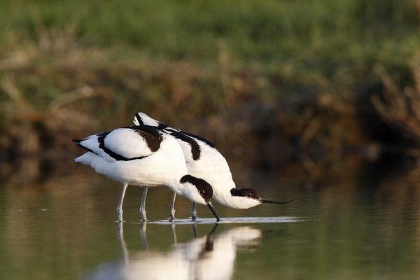 Säbelschnäbler,Recurvirostra avosetta,Avocet 20
