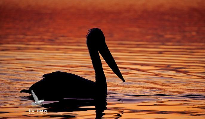 Krauskopfpelikan,Dalmatien pelican,pelecanus crispus 0042