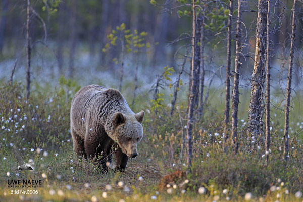Braunbaer Ursus arctos brown bear 0006