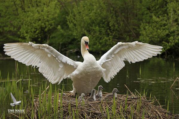 Hoeckerschwan,Mute Swan,Cygnus olor 0048