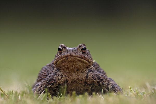 Erdkroete,Bufo bofo,Cammon Toad 0004