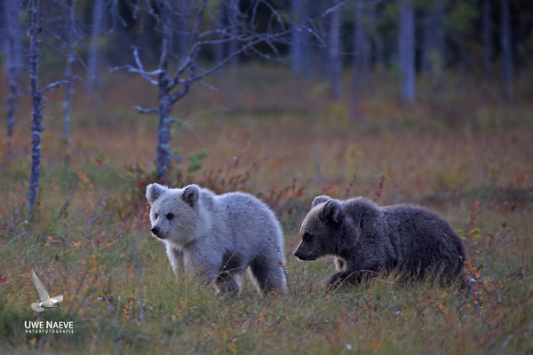 Braunbaer Ursus arctos brown bear 0082