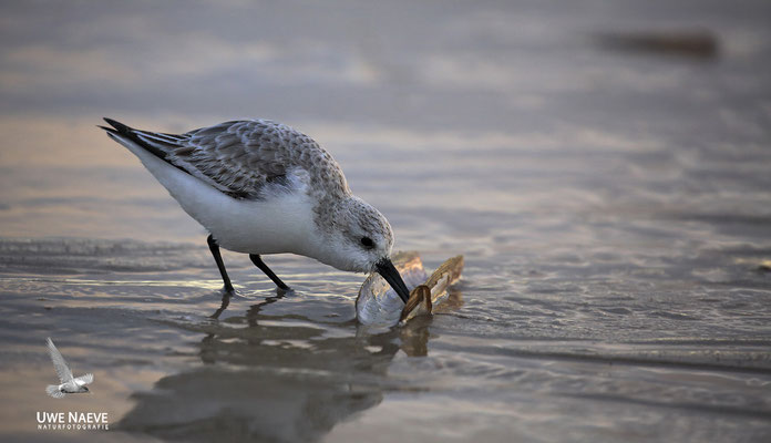 Sanderling Calidris alba Sanderling 0003