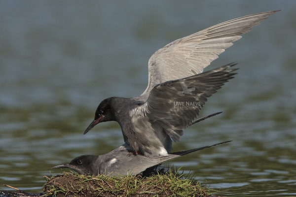 Trauerseeschwalbe,Black Tern,Chlidonias niger 0008