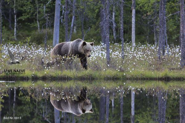 Braunbaer Ursus arctos brown bear 0013