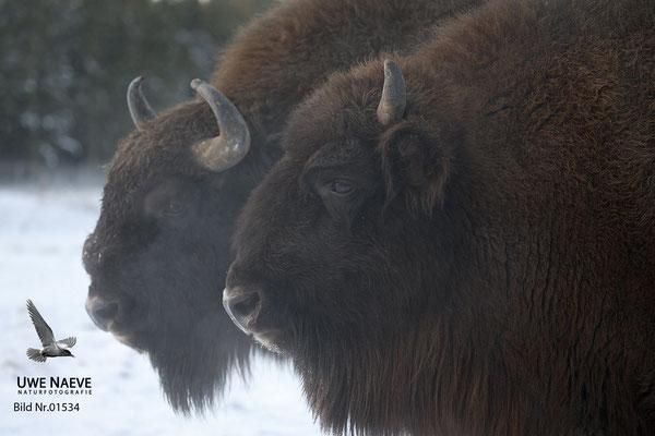 Wisent,Kuh und Bulle,Bison bonasus,European Bison Cow and Bull 01534