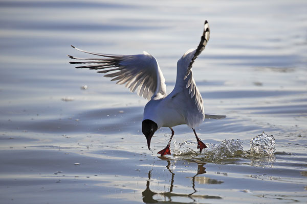 Lachmoewe ,Larus ridibundes,Black-headed Gull 0041