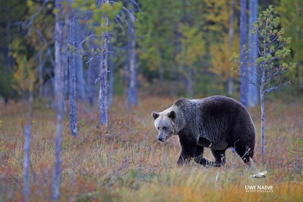 Braunbaer Ursus arctos brown bear 0078