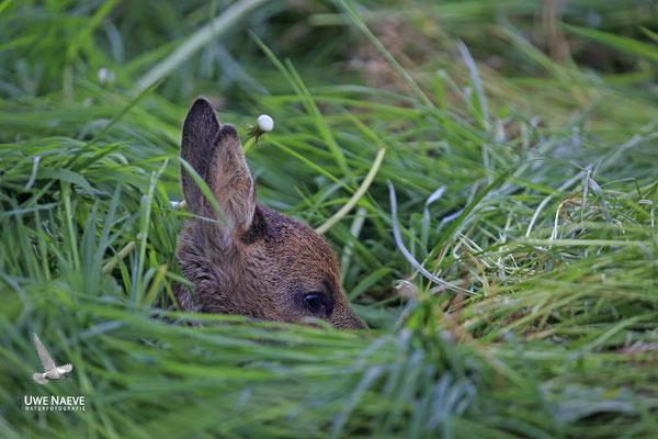 Rehkitz,Roe Deer fawn,Capreolus capreolus 0098