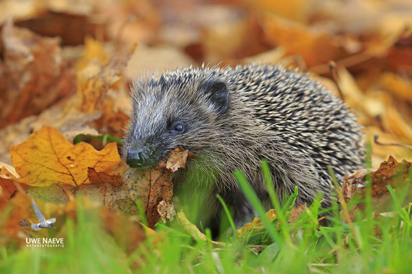 Europaeischer Igel,European Hedgehog,Erinaceus europeas 0039