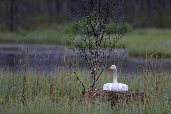 Singschwan,Whooper Swan,Cygnus cygnus 0034