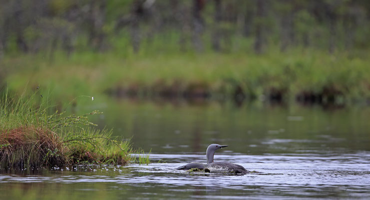 Sterntaucher,Gavia stellata,Red-throated Diver 0012