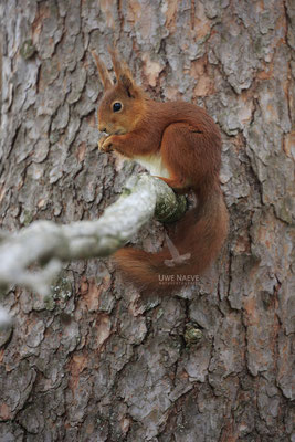 Eichhoernchen,Sciurus vulgaris,Red Squirrel 0020