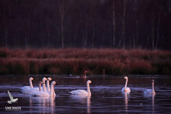 Zwergschwaene,Cygnus bewickii,Bewicks Swan 0062