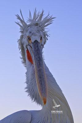 Krauskopfpelikan,Dalmatien pelican,pelecanus crispus 0057