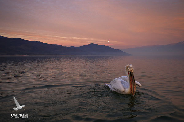 Krauskopfpelikan,Dalmatien pelican,pelecanus crispus 0013