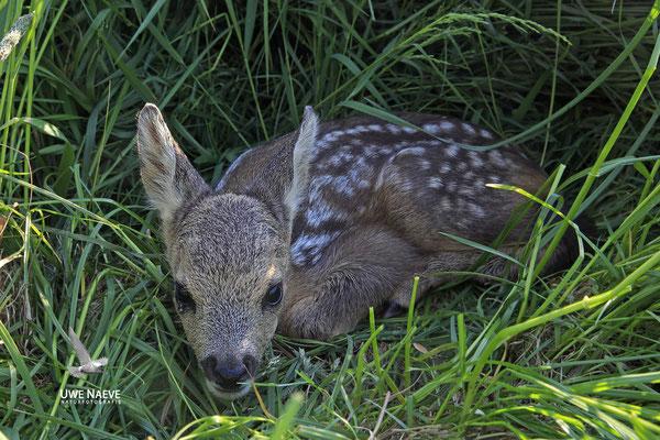 Rehkitz,Roe Deer fawn,Capreolus capreolus 0103