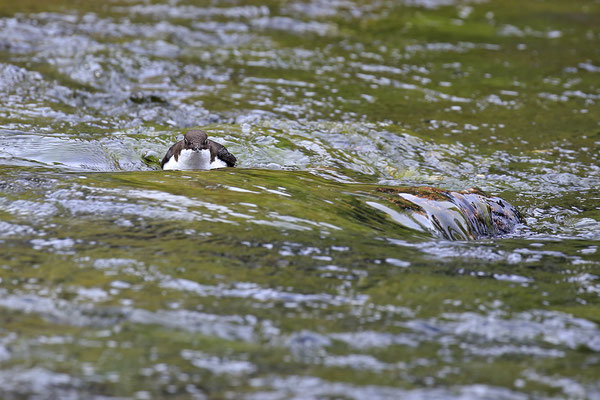 Wasseramsel,Cinclus cinclus,Water-blackbird 12