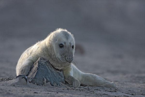 Kegelrobbe,Grey Seal,Halichoerus grypus 0030