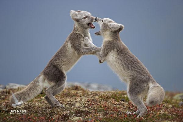 Polarfuchs,Eisfuchs,Arctic Foxes,Alopex lagopus,Vulpex lagopus 0102