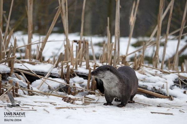 Fischotter,Otter,Lutra lutra 0004