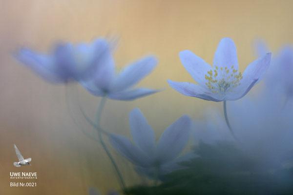 Buschwindröschen,Wood anemone,Anemone nemorosa .