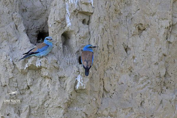 Blauracke, Coracias garrulus, Blue Roller 0008