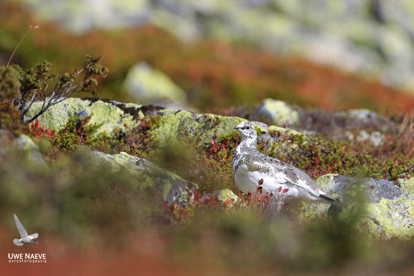 Alpenschneehuhn,Lagopus muta,Ptarmigan 0001